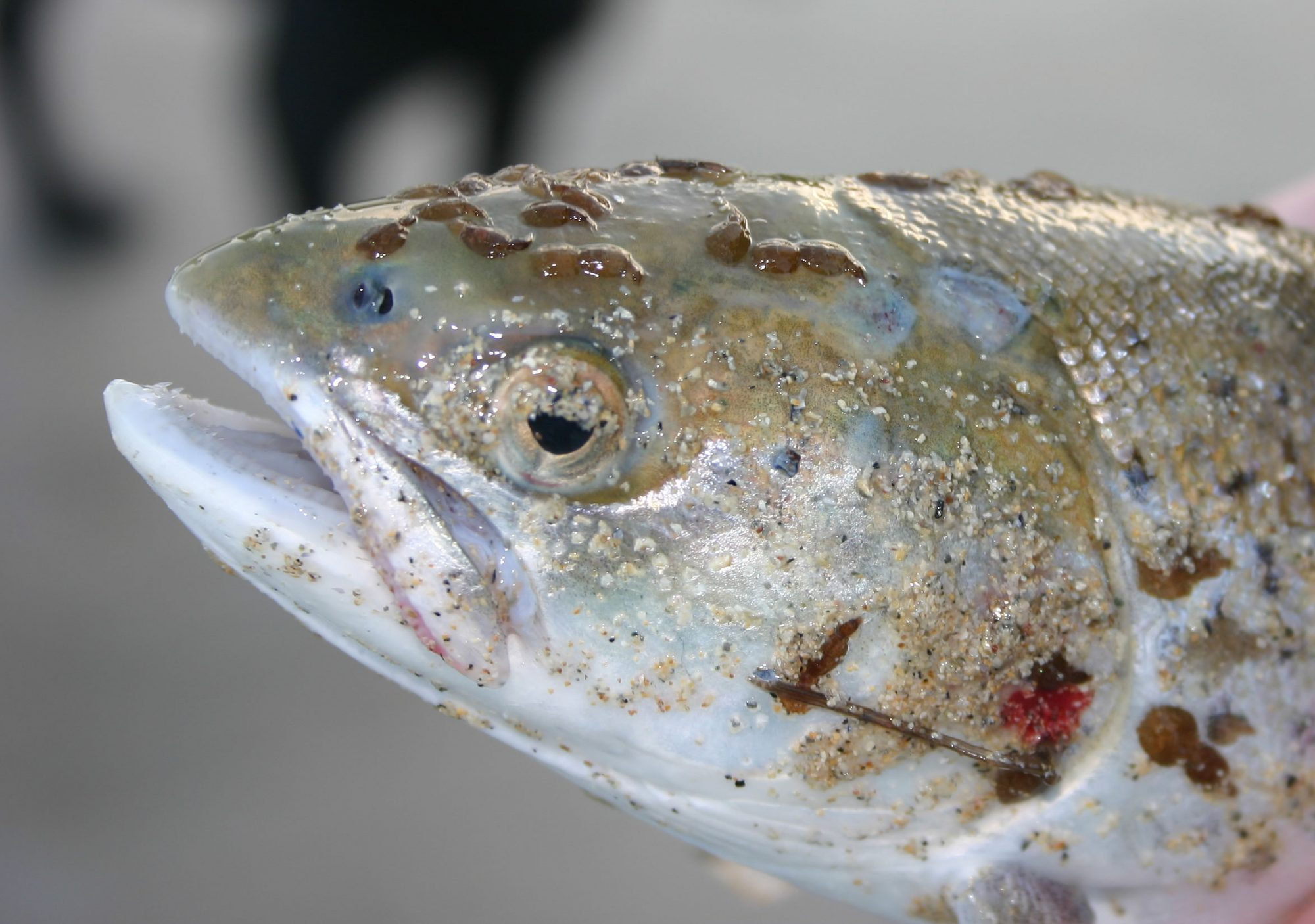 Current salmon farming practices expose wild salmon and sea trout to unnaturally high volumes of sea lice
